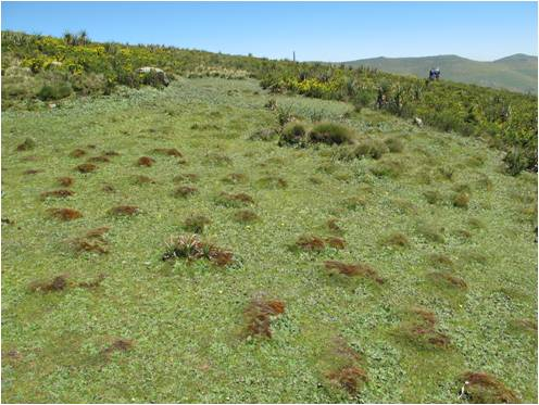 high altitude swamp: overgrazed (South Wollo)